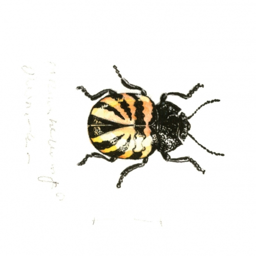 oialla_beetle_watercolor